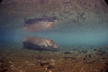 Hippopotamus (Hippopotamus amphibius) underwater, Mzima Springs, Tsavo National Park, Kenya  -  Peter Scoones/ npl