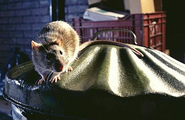 Brown Rat (Rattus norvegicus) on dustbin, Europe  -  Warwick Sloss/ npl