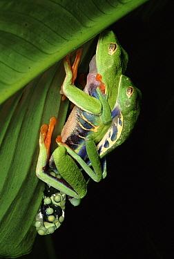 Red-eyed Tree Frog (Agalychnis callidryas) pair mating, Costa Rica  -  Tim Martin/ npl