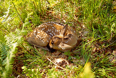 Red Deer (Cervus elaphus) recently born fawn lying on the forest floor, Europe  -  Simon King/ npl