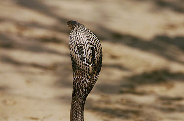 Spectacled Cobra (Naja naja) with hood spread, India  -  Ashok Jain/ npl