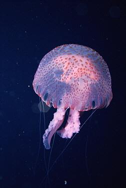 Mauve Stinger (Pelagia noctiluca), Mediterranean Sea  -  Francis Abbott/ npl