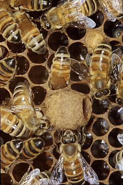 Honey Bee (Apis mellifera) workers around queen cell containing larva  -  John B Free/ npl