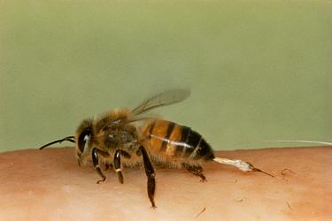 Honey Bee (Apis mellifera) stinging human  -  John B Free/ npl
