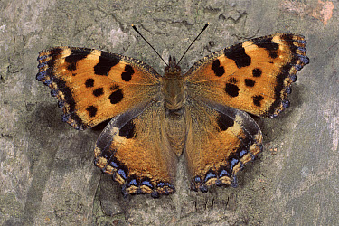 Large Tortoiseshell (Nymphalis polychloros) butterfly, Germany  -  Hans Christoph Kappel/ npl
