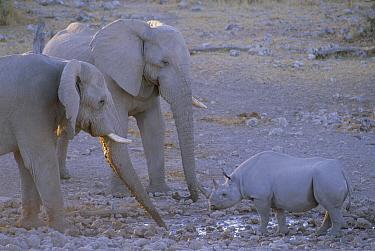 Black Rhinoceros (Diceros bicornis) in stand off with African Elephant (Loxodonta africana) pair, Etosha National Park, Namibia  -  Ron O'Connor/ npl