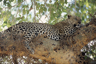 Leopard (Panthera pardus) in Sycamore Fig tree resting, Kruger National Park, South Africa  -  Ron O'Connor/ npl