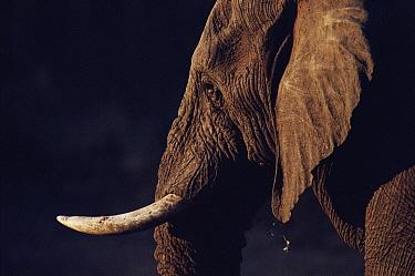 African Elephant (Loxodonta africana) endangered, Kruger National Park, South Africa  -  Ron O'Connor/ npl
