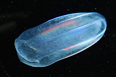Comb Jelly (Beroe ovata) note mouth on left, Mediterranean, France  -  Sinclair Stammers/ npl