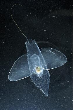 Sabot de Venus (Cymbulia peronii) plankton animal, Mediterranean Sea, Pteropod  -  Sinclair Stammers/ npl