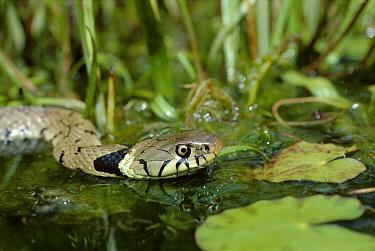Grass Snake (Natrix natrix) swimming, Devon, England  -  Andrew Cooper/ npl