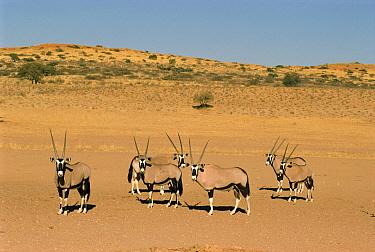 Gemsbok (Oryx gazella) herd, Kalahari National Park, South Africa  -  Ron O'Connor/ npl
