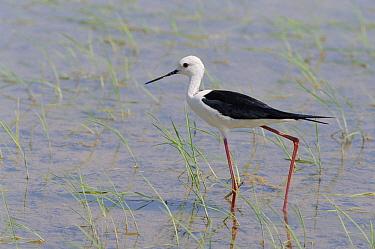 Black-winged Stilt (Himantopus himantopus) in rice field, Spain  -  Jose B. Ruiz/ npl