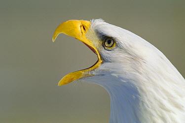 Bald Eagle (Haliaeetus leucocephalus) calling, rehab center, Canada  -  Louis Gagnon/ npl