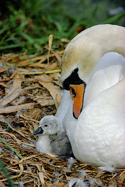 Mute Swan (Cygnus olor) female at nest with newly hatched chick, England  -  Simon King/ npl
