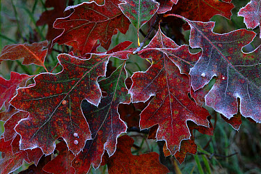 Oak (Quercus sp) leaves covered with frost, North America  -  Larry Michael/ npl