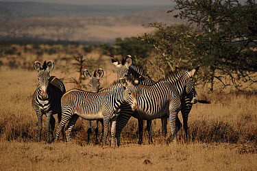 Grevy's Zebra (Equus grevyi) group, Lewa Downs, Kenya  -  Keith Scholey/ npl