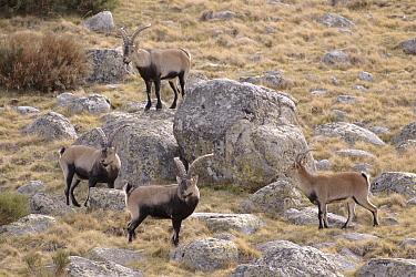 Pyrenean Ibex (Capra pyrenaica) male group, Sierra Gredos, Spain  -  Jose B. Ruiz/ npl
