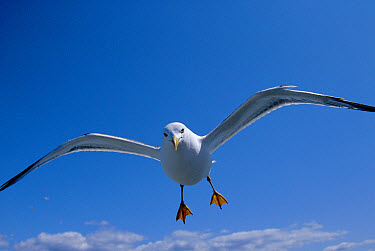 Lesser Black-backed Gull (Larus fuscus) flying, Europe  -  Simon King/ npl