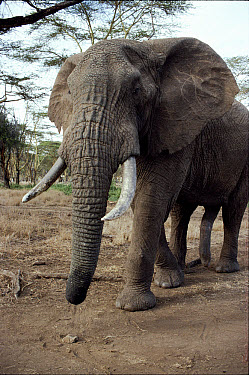 African Elephant (Loxodonta africana) bull with erection, Lewa Downs, Kenya  -  Keith Scholey/ npl