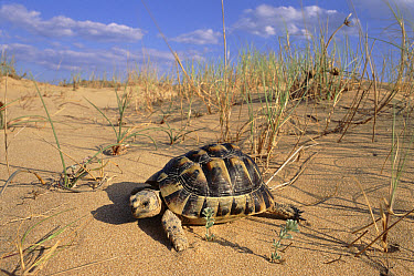 Mediterranean Spur-thighed Tortoise (Testudo graeca) male on sand dune, Elche, Alicante, Spain  -  Jose B. Ruiz/ npl