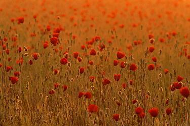 Long-headed poppy (Papaver dubium) in barley field, Angus, Scotland  -  Niall Benvie/ npl