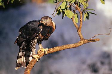 Crowned Eagle (Stephanoaetus coronatus), Zimbabwe  -  Neil Lucas/ npl
