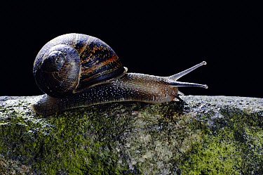 Brown Garden Snail (Helix aspersa) profile (Helix aspersa), England  -  Chris O'Reilly/ npl