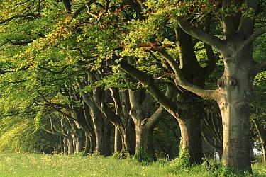 Avenue of Beech Trees near Wimborne, Dorset, England  -  David Noton/ npl