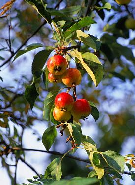 Apple (Malus sp) fruit on tree, Derbyshire, England  -  Chris O'Reilly/ npl