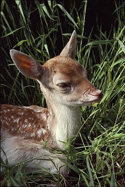 Fallow Deer (Dama dama) fawn, Devon, England  -  Andrew Cooper/ npl