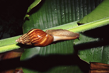 Giant African Land Snail (Achatina sp) from a snail garden discovered on the New Delhi Ridge, India  -  Ashok Jain/ npl
