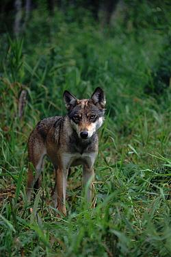 Gray Wolf (Canis lupus) female, Mazurski Park, Poland  -  Artur Tabor/ npl
