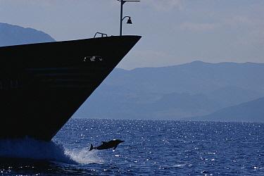 Short-beaked Common Dolphin (Delphinus delphis delphis) bow riding cargo ship, Gibraltar Strait  -  Tom Walmsley/ npl