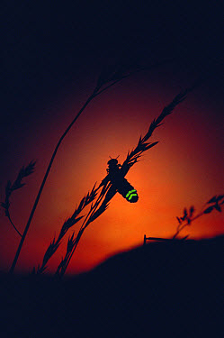 Common Glow Worm (Lampyris noctiluca) female glowing at sunset to attract mate, Devon, England  -  Andrew Cooper/ npl
