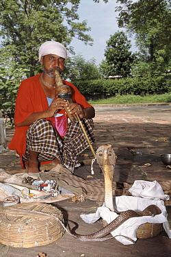 Spectacled Cobra (Naja naja), Delhi, India  -  Ashok Jain/ npl