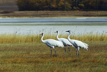 Whooping Crane (Grus americana) trio, Saskatchewan, Canada  -  Tom Mangelsen/ npl