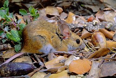 Wood Mouse (Apodemus sylvaticus) feeding, Spain  -  Jose B. Ruiz/ npl