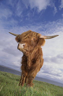 Domestic Cattle (Bos taurus), Highland breed, Argyl, Scotland  -  Niall Benvie/ npl