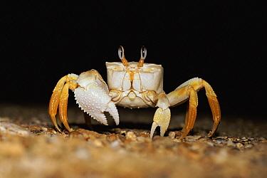 Ghost Crab (Ocypode sp) on beach at night, Madagascar  -  Phil Chapman/ npl