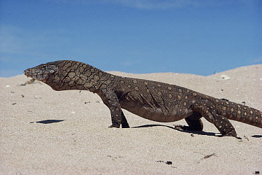 Giant Monitor Lizard (Varanus giganteus) walking across sand, Australia  -  Nigel Marven/ npl