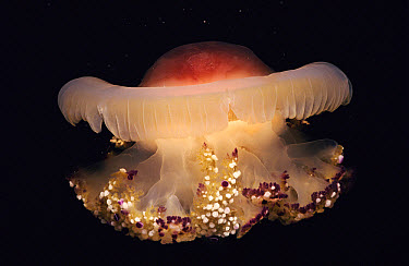Mediterranean Jellyfish (Cotylorhiza tuberculata) rare and large jelly that is thought not to sting Mediterranean  -  Francis Abbott/ npl