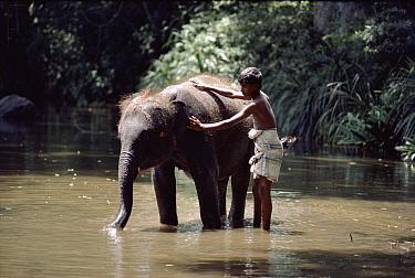 Asian Elephant (Elephas maximus) calf being bathed by boy, Sri Lanka  -  Simon King/ npl