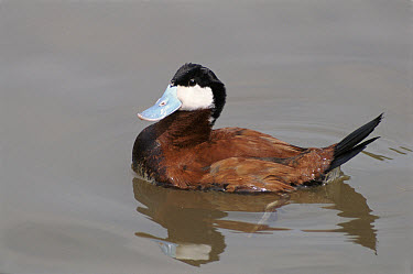 Ruddy Duck (Oxyura jamaicensis) male in breeding plumage, England  -  Rob Collis/ npl