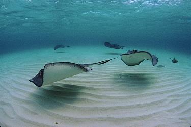 Southern Stingray (Dasyatis americana) group in shallows, Cayman Islands  -  Georgette Douwma/ npl