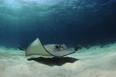 Southern Stingray (Dasyatis americana) in shallows, Cayman Islands  -  Georgette Douwma/ npl
