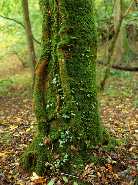 English Ivy (Hedera helix) climbing moss-covered tree Pwll-Y-Wrach Reserve, Talgarth, Wales  -  Chris O'Reilly/ npl