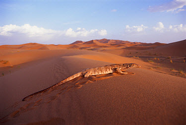 Desert Monitor (Varanus griseus) lizard, Sahara Desert, Africa  -  Jason Venus/ npl