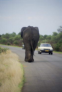 African Elephant (Loxodonta africana) walking on road beside cars, Kruger National Park, South Africa  -  Miles Barton/ npl