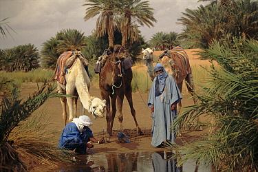 Bedouin with Dromedary Camels at oasis, northern Sahara Desert, Morocco  -  Jason Venus/ npl
